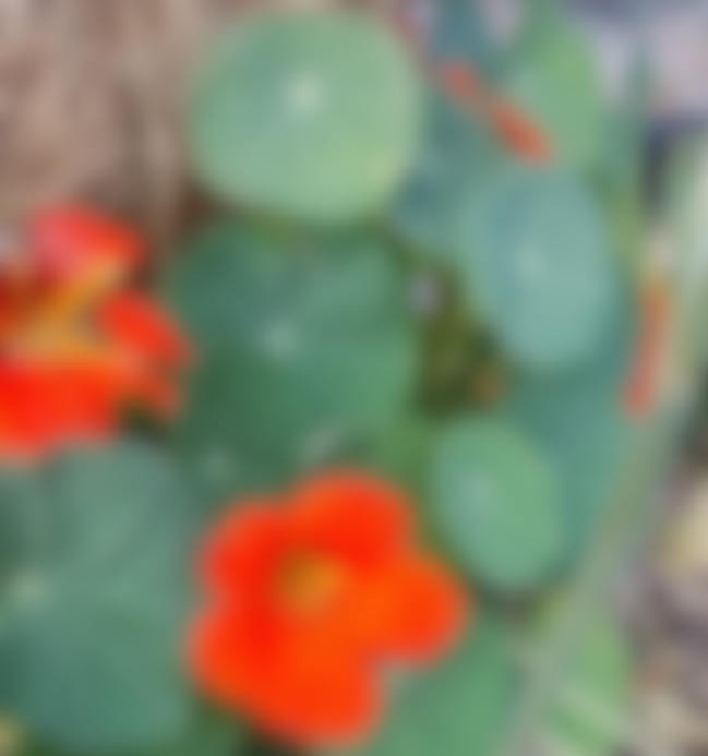 Blurry nasturtiums