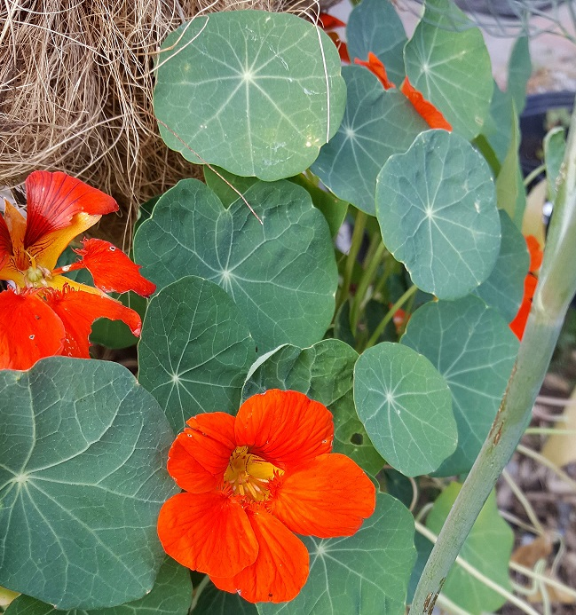 Red nasturtiums and green leaves