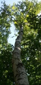 Tall birch tree